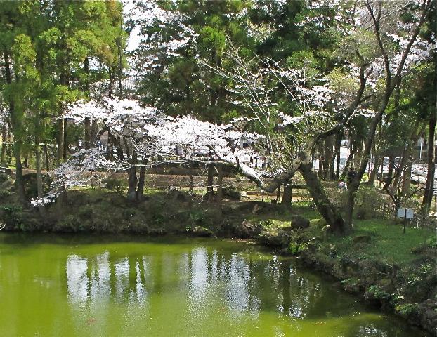 Sakura pond © Tokyo Food File