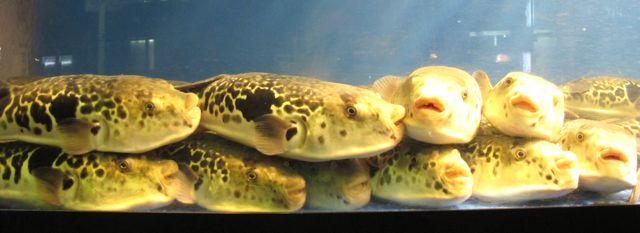 fugu tank © Tokyo Food File