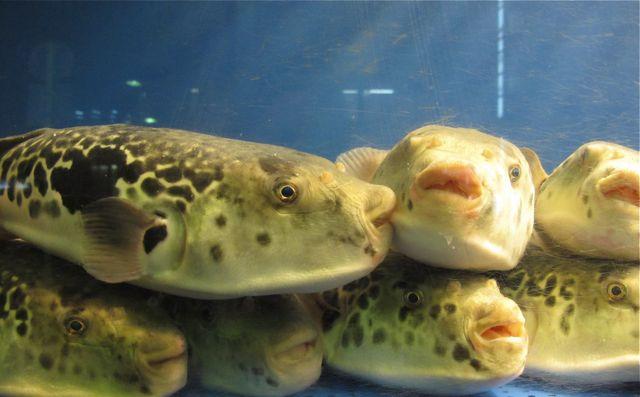 fugu closeup2 © Tokyo Food File