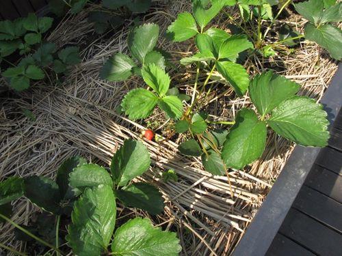 nouen strawberries (C) Tokyo Food FIle
