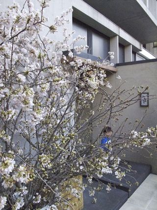 2012 nakamura hanami 1 © Tokyo Food File