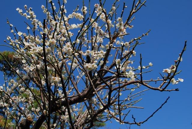 ume blossom © Tokyo Food File