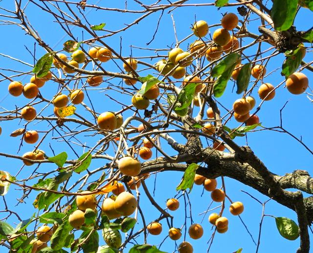 kaki tree 1 © Tokyo Food File