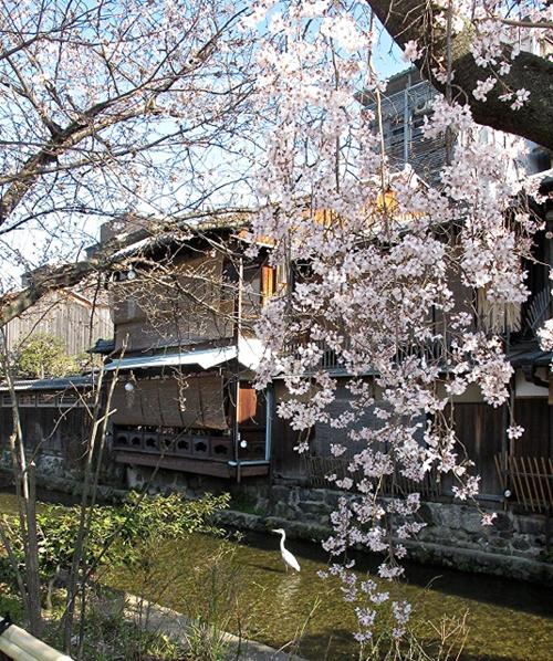 Kyoto sakura © Tokyo Food File