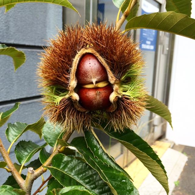 Chestnut alien © Tokyo Food File